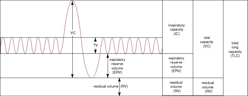 Lung volumes - Academic Kids