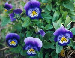 5-petaled purple, white, and yellow pansies