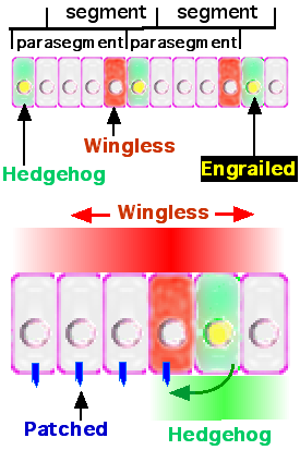 Wingless morphogen