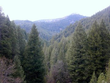 A dense growth of softwoods (a forest) in the Sierra Nevada Range of Northern California