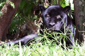 Melanistic form of Jaguar (Panthera onca), a larger relative of the puma.