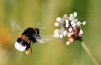 A bumblebee in flight