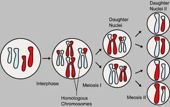 Overview of the major events in meiosis
