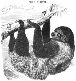 A sloth, as depicted in the 1851 Illustrated London Reading Book