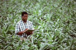 An agricultural scientist records corn growth