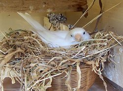 A canary nesting
