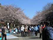 Cherry blossoms at Ueno Park.