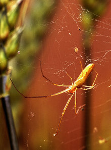 Long-jawed orb weaver spider