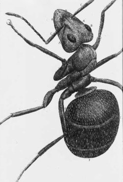 A ant - one of Hooke's drawings for .