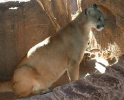 Puma, photographed in the , Tucson, Arizona