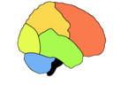Lobes of the human brain (Frontal Lobe is shown in red)