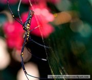 A golden silk spider (Nephila clavipes), member of the family Tetragnathidae