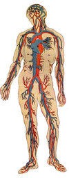 Human Body Clipart provided by Classroom Clip Art (http://classroomclipart.com)
