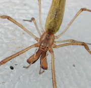 A long-jawed spider illustrating jaws, pedipalps, and eye pattern