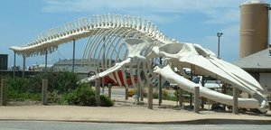 Blue whale skeleton, outside the Long Marine Laboratory at the