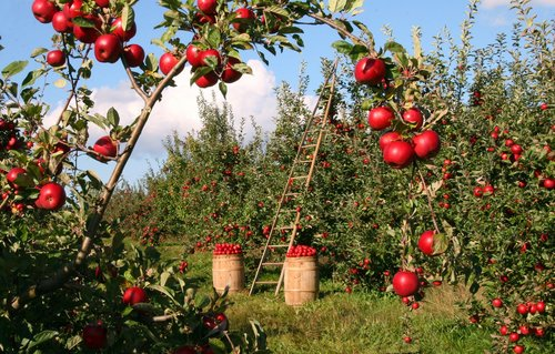 Barrels of Apples in an apple orchard