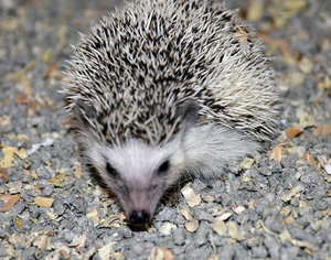 Pet Hedgehog.