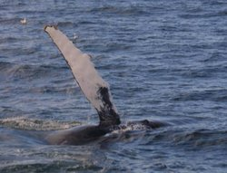 Some suspect that slapping flippers helps Humpbacks forage for food by startling fish.