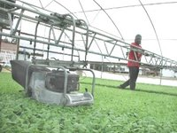 Mowing young tobacco in greenhouse of half million plants ()