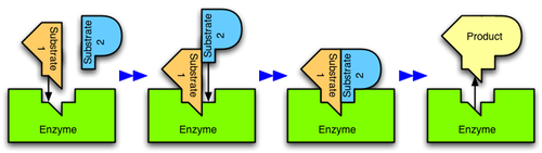 Figure 2: An enzyme catalyzes the reaction of two substrates to form one product.