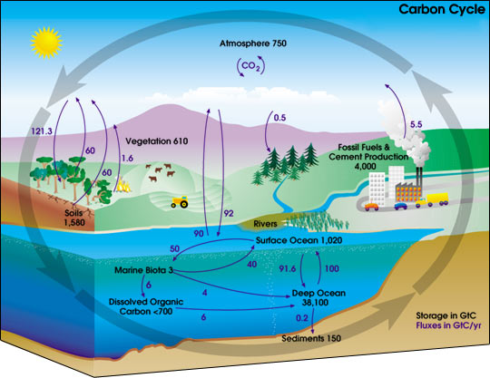 Diagram of the carbon cycle. The black numbers indicate how much carbon is stored in various reservoirs (in billions of tons). The blue numbers indicate how much carbon moves between reservoirs each year.