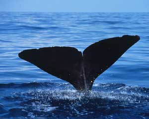 The fluke of a Sperm Whale as it dives into the Gulf of Mexico (courtesy NMFS)