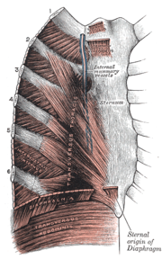 A diagram of the thoracic muscles featuring the diaphragm