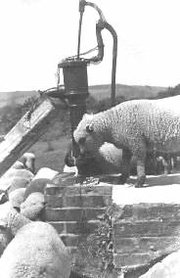 Sheep drinking near a pump