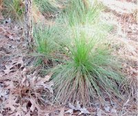 Longleaf Pine: 'grass stage' seedling, near