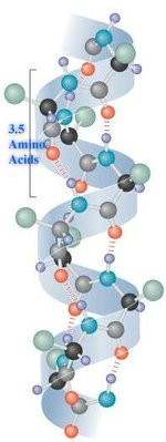 A diagram of the alpha helix structure of amino acids