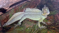 (Basiliscus plumifrons) of the family .