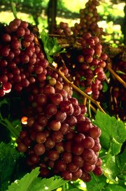 Flame seedless grapes