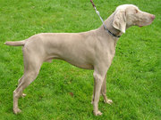Dogs are predators suited to chasing after, leaping at, and killing prey. (pictured: Weimaraner)