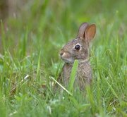 A young cottontail rabbit in the wild, midwest US